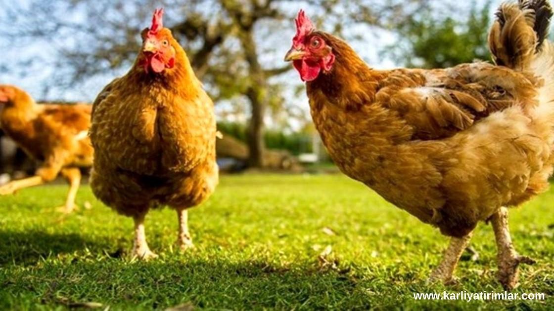 ne-is-yapsam-gezen-tavuk-yumurtasi-uretmek